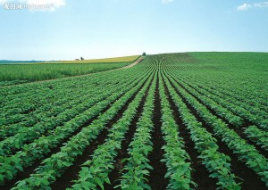 potato outdoor fields
