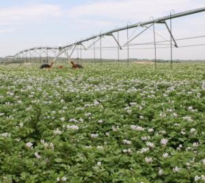 Russet Burbank potato field
