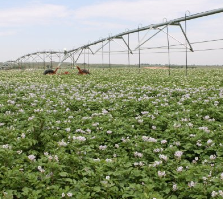 Russet Burbank potato field