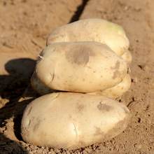 shepody_Potato_seeds