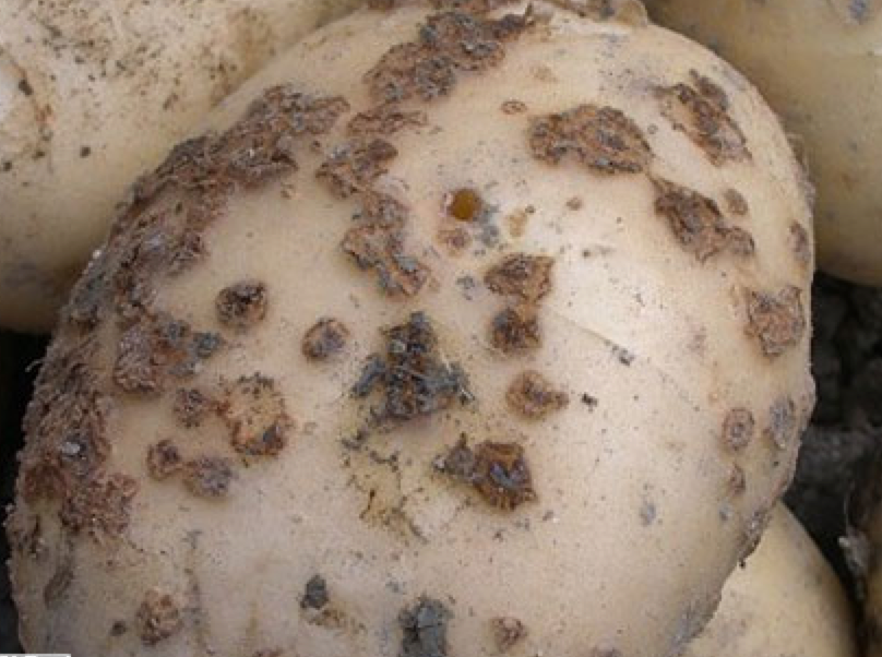 potato seed fungal disease